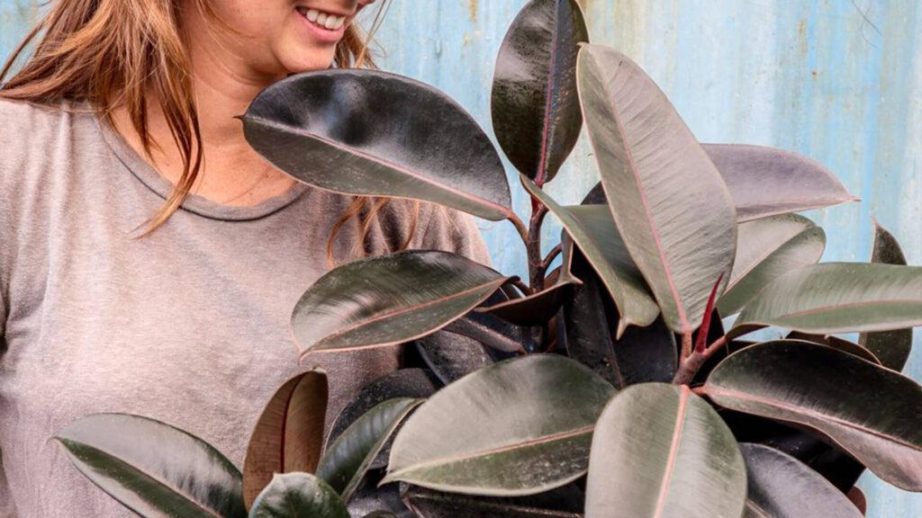 گیاه فیکوس الاستیکا یا گیاه کائوچو