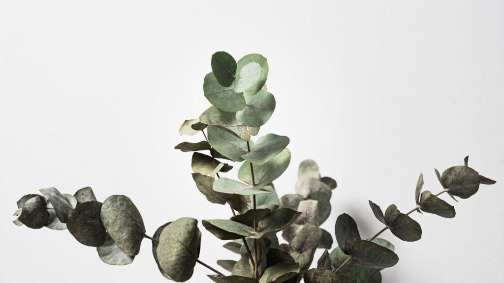 گیاه اکالیپتوس