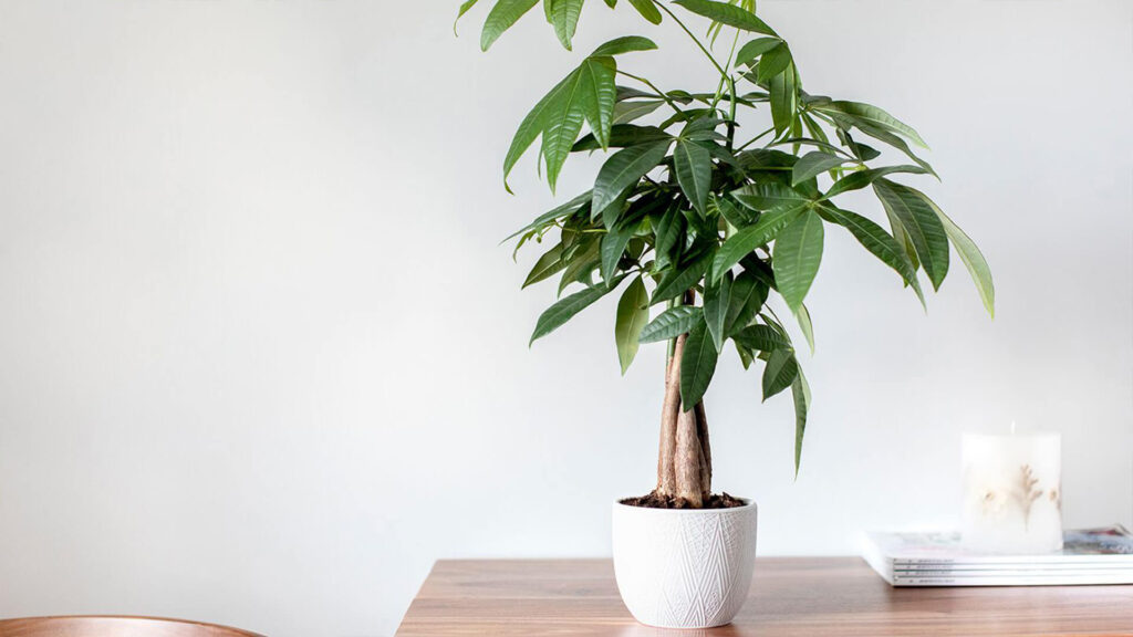 درخت پول یا پاچیرا